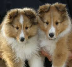 picture of Soldier's Shelties Puppies